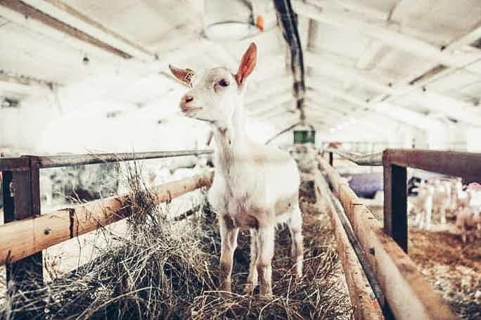 Экскурсия на фермерскую слободу: В гости к Козе-Дерезе