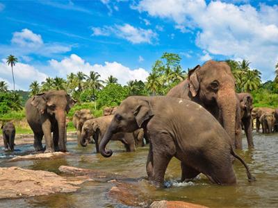 Слоновий питомник Пиннавеле, сад Перадения, озеро Канди
