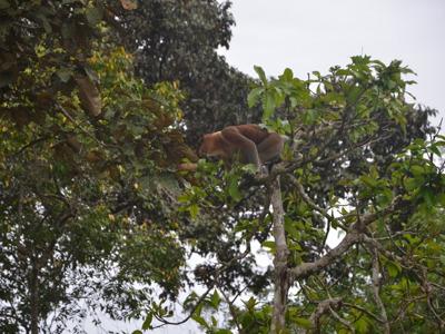 В поисках обезьян носачей