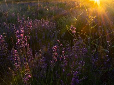 Индивидуальный ночной фототур на цветение лаванды