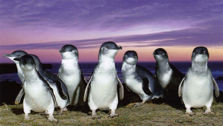Остров Филиппа и парад пингвинов