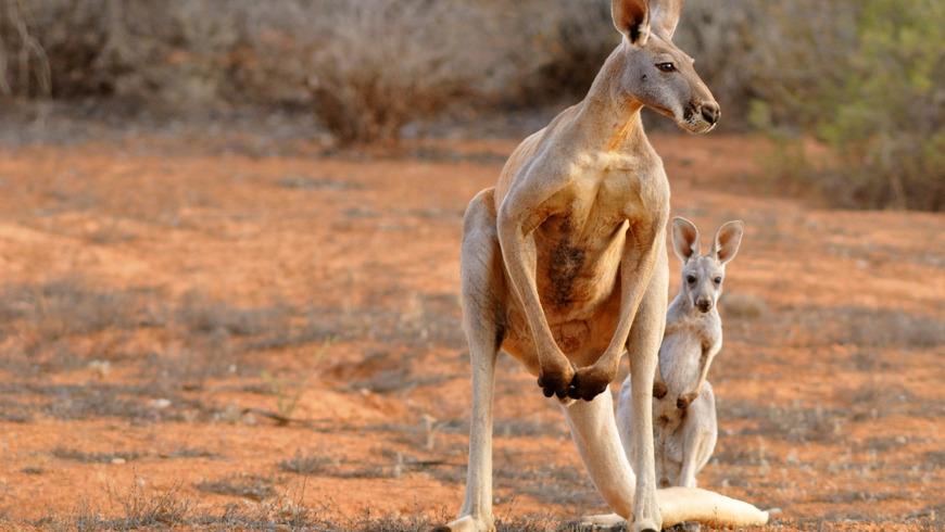 Онлайн-экскурсия «Уникальный животный мир Австралии»